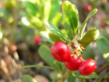 uva-ursina-proprietà